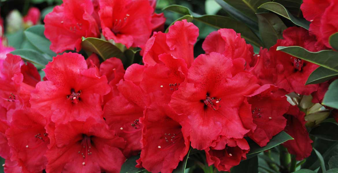 rhododendron red jack garden and terrace. Black Bedroom Furniture Sets. Home Design Ideas